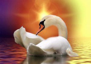 swan-1791994__340