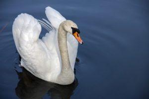 swan-319379__340